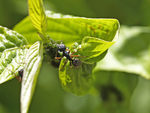 Aphids can leave a gooey substsance on your plants that blocks the sun from getting to the leaves.