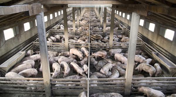 Large hogfarm