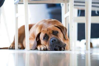Animal stains and odors are most often caused by urine.