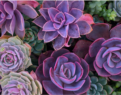 Succulents are gaining in popularity with Austin residents, says Shannon Donaldson, owner of Succulent Native and Flowers on the Fly.