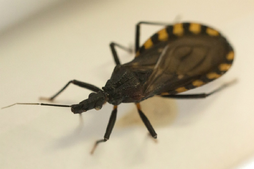 Chagas disease is caused by the Trypanosoma cruzi parasite and is spread mainly by insects.