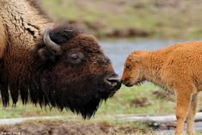 Medium bison