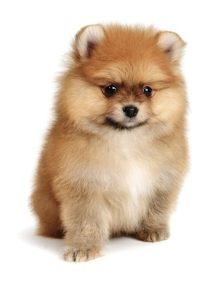 Just Pups, in New Jersey is being sued for allegedly selling a Pomeranian puppy (not the one pictured) that was too sick to be sold.