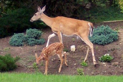 Whitetail deer forage in the garden.