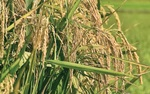 Elwynn Taylor said that long El   Niño   periods that continue into the growing season show higher yields at least 70 percent of the time.