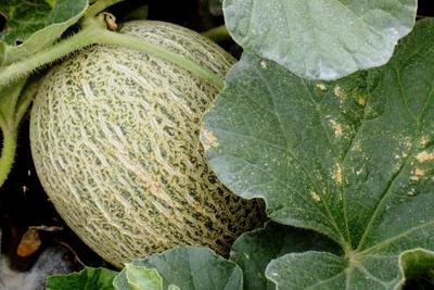 Lilliput cantaloupes weigh up to 2 pounds when ripe and ready to eat.