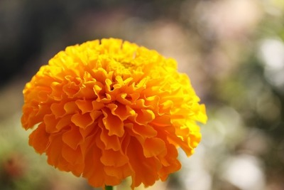 Marigolds are great pest controllers.