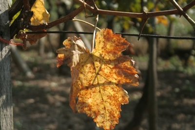 The rampant grapevines should be pruned severely in winter.