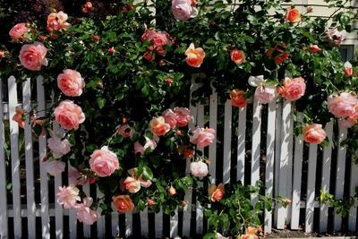 Plant roses in winter for spring and summer color.