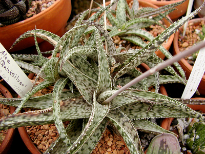 When choosing an easy-care aloe, look for a variegated or textured variety for something new. Pictured here is Aloe