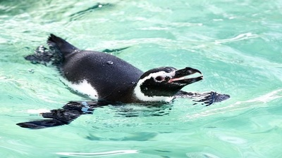 The Potter Park Zoo, which is home to the Magellanic Penguin, will receive an increase in funding after voters approved the measure on March 10.