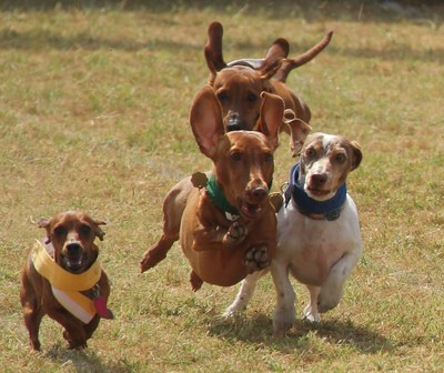 The annual wiener dog races are a summer tradition in Buda, along with the country fair.
