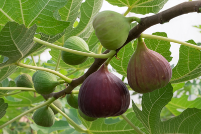 Fig trees can grow up to 25 feet, or can be pruned to fit well in a smaller space.