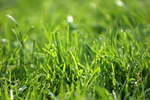 Maintaining a lush lawn year round is the best defense against weeds.