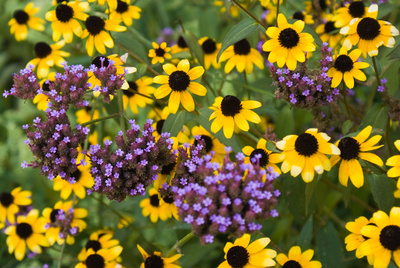 Want to upgrade your garden space? Try adding a swath of Black-Eyed Susans.