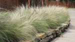 Mexican Feathergrass can add flair to your fall garden.