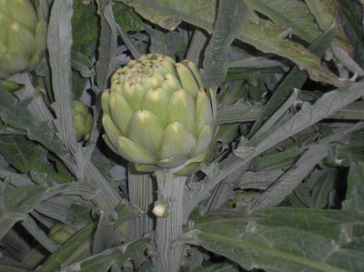 In its February To-Do List, the Natural Gardener notes that February is the right time to start items like artichokes if you want to grow them this year.