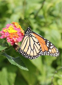 The group is dedicated to researching ways to increase monarch butterfly populations.
