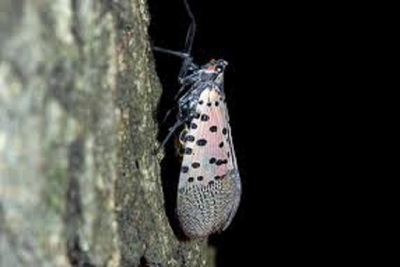 Medium lanternfly