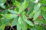Broad-leaved evergreens like laurels are susceptible to lace bugs.
