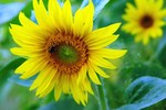 Sunflowers raise cheerful faces in the garden.