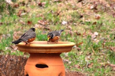 Birds enjoy a birdbath in the garden.