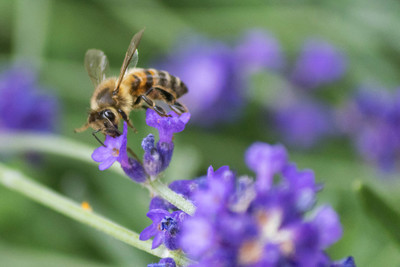 Bees are important agricultural laborers that have fallen on tough times.