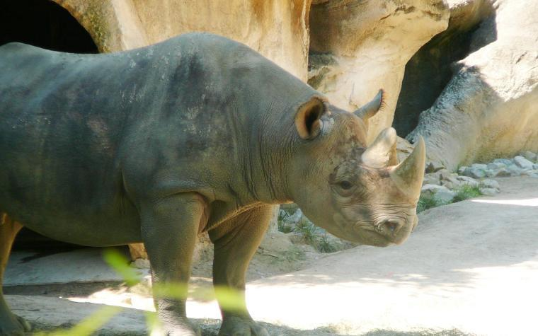 There are approximately 5,500 black rhinos remaining in the wild in central and southern Africa.