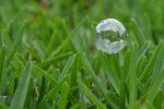 St. Augustine grass is a favorite for home lawns.