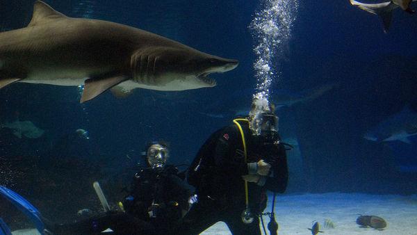 Large sharks