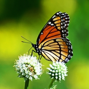 """Organic farmer Kathryn Chapman presented """"Butterflies, Bees, Gardens and Trees"""" in April."""