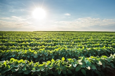 Medium soybeans