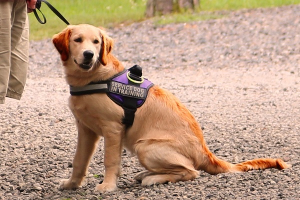 Large service dog in training
