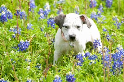 The Sweetwater Wildflower Festival on Sat., April 23 will spotlight adoptable dogs from Austin Pets Alive! Visitors can pose for professional photos with their own pets at the community's dog park for a $10 donation to Austin Pets Alive!, and several buil