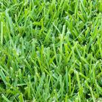 St. Augustine grass requires special attention during the winter months.