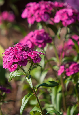 Jolt Pink dianthus was selected as a 2015 All-American selections Bedding Plant Award Winner.