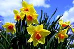 Plant daffodils in a sunny, well-drained location for spring color.
