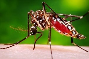 Transmitted through the bite from an infected Aedes aegypti mosquito, the Zika virus is most hazardous for pregnant women.