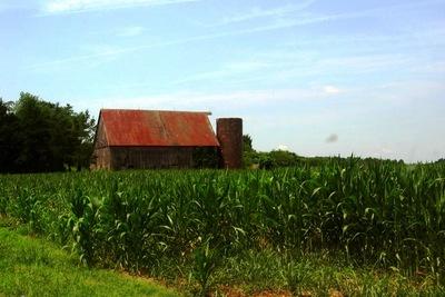 Medium cornfield 1000x667