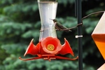 Migratory and local hummers will guard the feeder against all others.