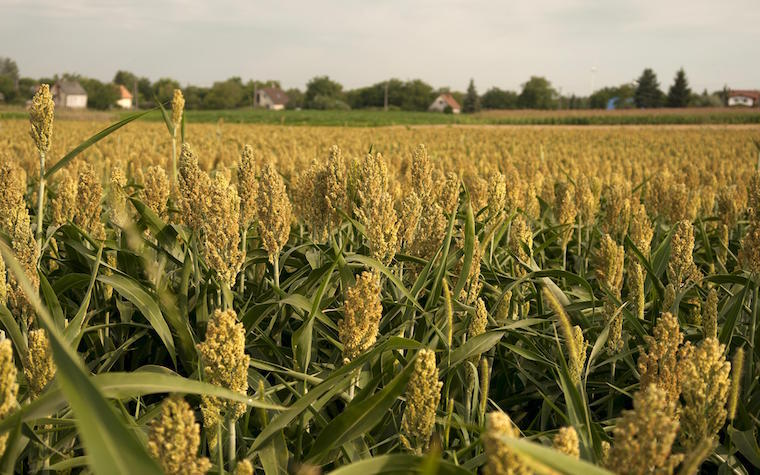 Nigerian Corn Growers Association director speaks about his hopes for the Nigerian corn market