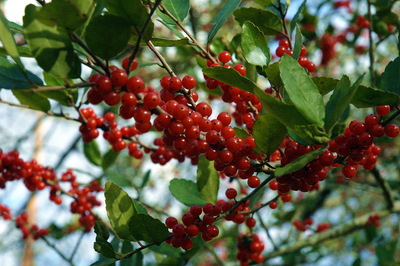 Yaupon holly is an attractive shrub or small tree that grows well in Austin.
