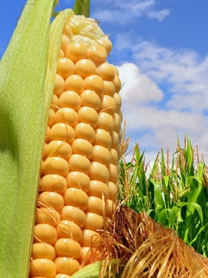 The report is the first of the year to forecast overall U.S. corn supply and demand for the next market year.