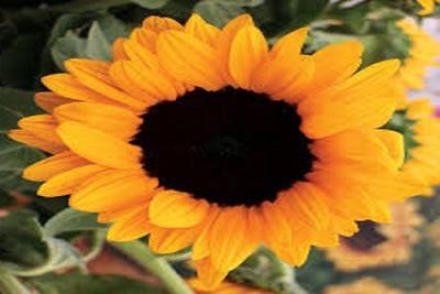 Medium sunflower