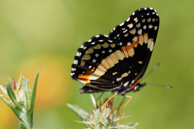 Native plants are beneficial to local wildlife such as butterflies.