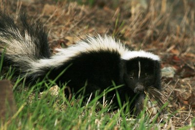 Skunks eat a variety of pests, but don't appreciate human contact.