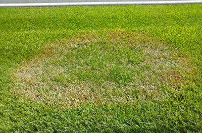 Brown patches can be frustrating when striving for a beautiful lawn.