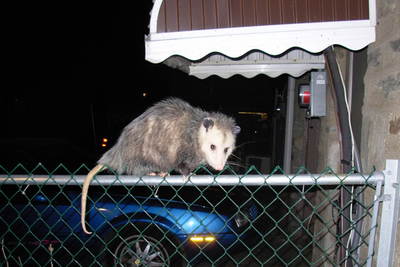 Some critters, like possums, can continue to annoy homeowners in the winter.