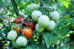 Cherry tomatoes produce many fruits over the growing season.