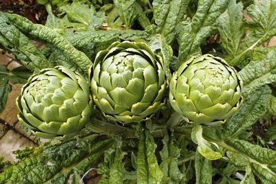 Artichokes are the immature flower buds of the plant.